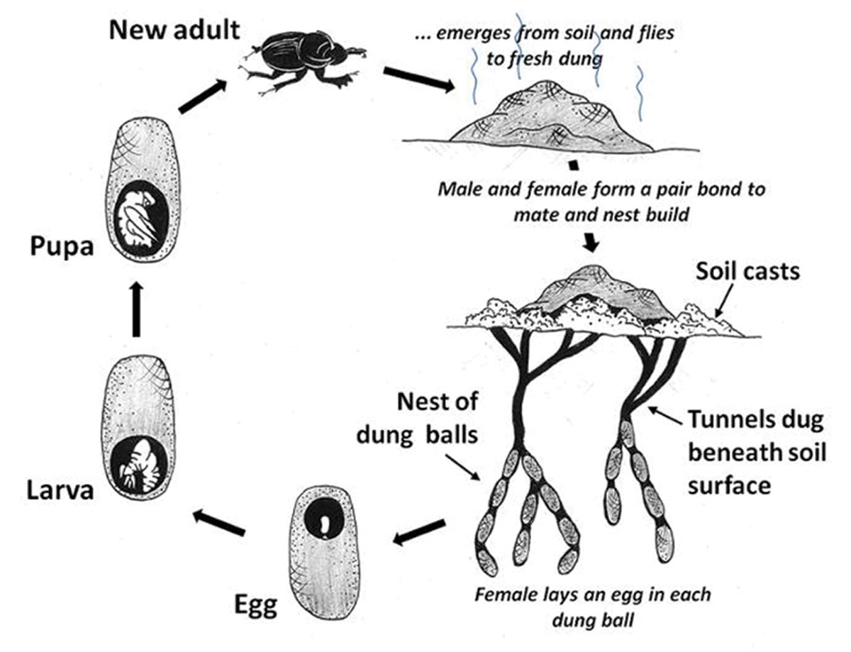 DUNG BEETLE LIFECYCLE