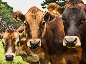 "Animal health experts are warning that the outbreak of Mycoplasma bovis disease on a large South Canterbury farm could be ""a potential game changer""."