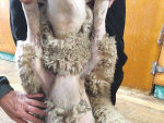 Study looks into economic impact of self-shedding sheep