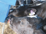 Incorrect mixing of calf mix replacer could make calves sick.