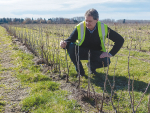 Tony Howey with young blackcurrant plants growing through straw mulch on his farm at Pleasant Point, South Canterbury. He is also trialling plastic weed mat, and sheep to keep the grass down, saying weed control is the toughest part of running a fully certified organic operation. Photo: Rural News Group.