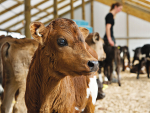 Keep calves safe by ensuring their environment is as clean as possible.