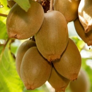 Kiwifruit growers mull legal action