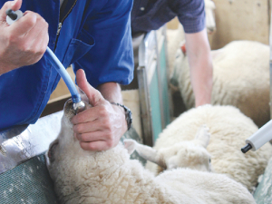 Good prospects for sheepmeat make it worth spending money on flock health.