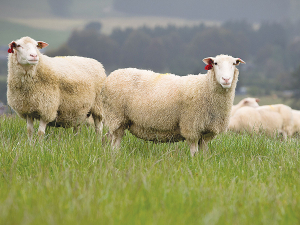 More farmers are enquiring about sheep milk, says Spring Sheep Milk Co.