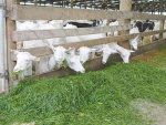 Dairy goats: the high performance ruminants