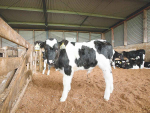 Look after your calves, look after your community