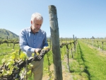 Trevor Lupton inspecting a powdery mildew fungicide trial in a Gisborne vineyard in spring 2015. Picture by Justine Tyerman.