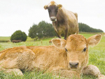 Planning and preparing for calving will reduce stress when calving is in full swing.