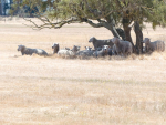 Long time between drinks: Sheep graze dry pasture a few kilometres west of Christchurch Airport in early December, on the day the airport weather station recorded its 46th consecutive day of no rain, bettering a record set in 1954.