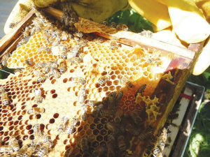 In the past decade or so, NZ's beehive numbers have jumped from 300,000 to over a million on the back of the manuka honey hype, but many of the country's beekeepers are now struggling to make any money.