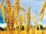Grain output in Europe is tipped to fall.