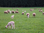 Strains of the helicobacter bacteria, which live in the stomach, are now believed a possible cause of abortion in ewes.