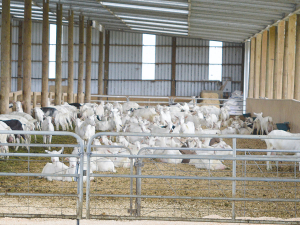 Johne's disease limits production in dairy goats.
