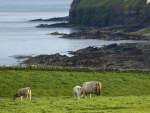 Is seaweed an answer to healthier cows?
