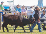 Visitors will see cattle but no calves at this year's show.