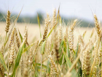 World food prices rise for seventh consecutive month