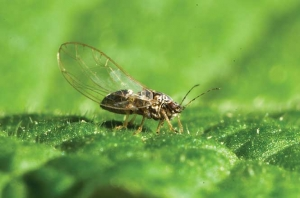 Parasitic wasp release proposed to combat vege pest