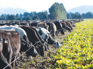Catch crops can be used to mop up excess nutrients following winter grazing.