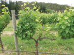 Cordon pruned vines shows symptons earlier than cane pruned.