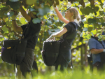 At least 18,000 seasonal workers will be required to pick and pack the kiwifruit harvest this year.