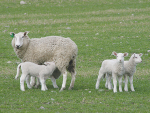 Lambs born to well-fed ewes will have energy stored as fat reserves and are better able to survive adverse times.