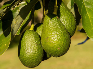 Avocados will replace dairy on what is to be reportedly New Zealand's biggest avocado orchard.