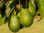 Dairy to make way for avocados