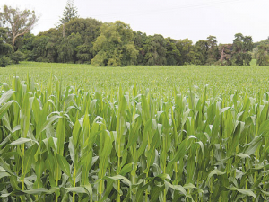 Maize crops are doing well in the North Island.
