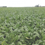 Weed control in fodder beet