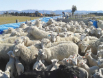 Heavier ewes in good condition invariably have better lambing performances than lighter, skinnier ewes.