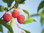 The Wakefield raspberry, bred in NZ, has now been commercialised in the US.