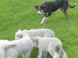 There seems to be something about small, frisky lambs waggling long tails that will jolly up even the most half-hearted pup.