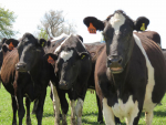 Big dairy processors lifting payout forecasts for 2015-16 is a further sign of a rebound.