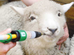 Drench resistance is already widespread on sheep farms and heading in the same direction wherever cattle are farmed.