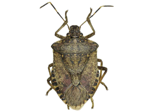 New Zealand is on high alert for brown marmorated stink bug.