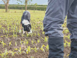 Rusty helps sniff out velvetleaf