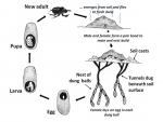 Dung beetle life cycles.