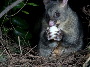 The programme aims to eradicate TB from possums by 2040.