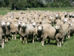 Wool market firms