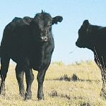 High global beef prices to continue