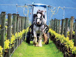 Gracie the Clydesdale in full flight spraying the vines.