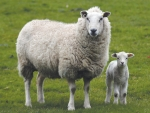 While the lowest lamb crop in 60 years should support prices, the market is being swamped by other factors at present.