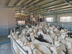 Goat farming on the rise