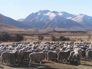 Fine wool is continuing a run of high prices.