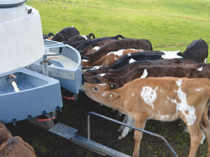 Calves should be fed at the same time each day to minimise stress.
