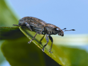 The clover root weevil.