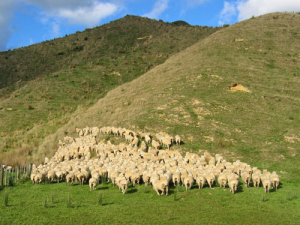 New Zealand now has 5.6 sheep for every person, after peaking at 22 sheep for every person in 1982.