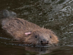 A Eurasian beaver. Photo: National Trust.