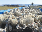 The importance of managing ewes in late pregnancy and early lactation